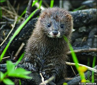 A mink, alive and well.